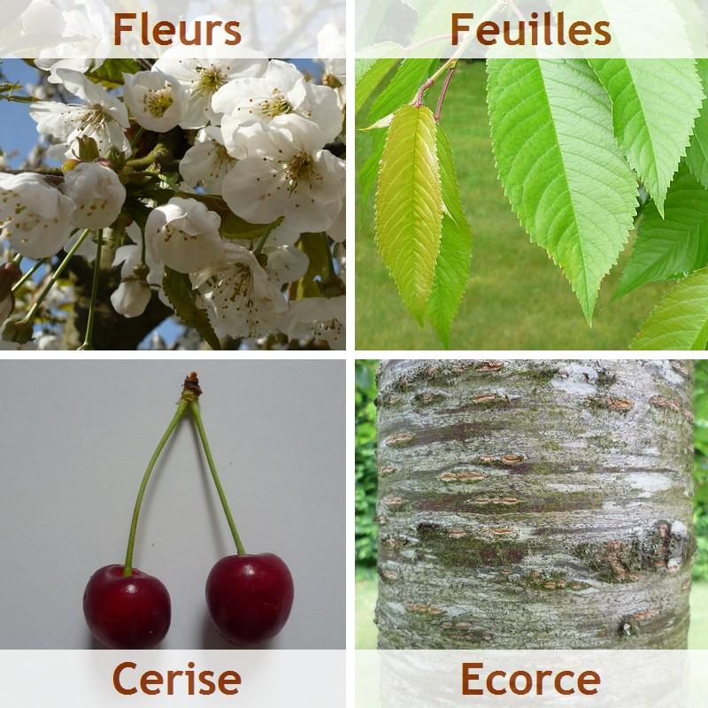 cerisier_prunus_cerasus